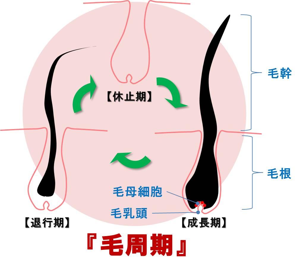 腹毛脱毛で期間を開ける理由は毛周期